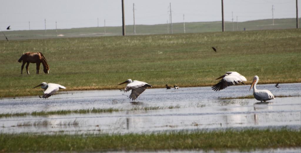 pelicans in Korgalzhyn reserve
